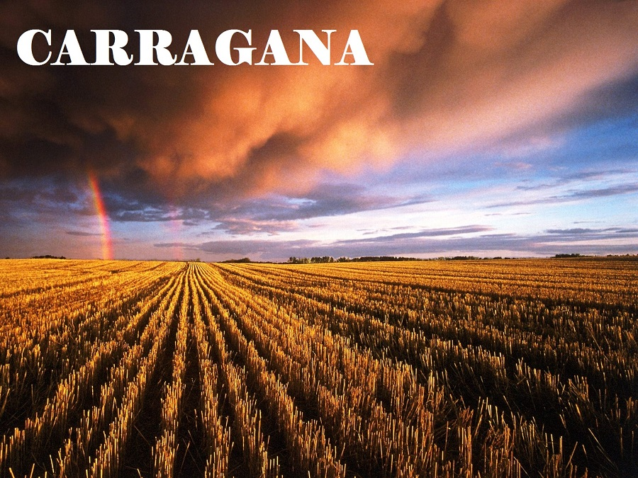 carragana2